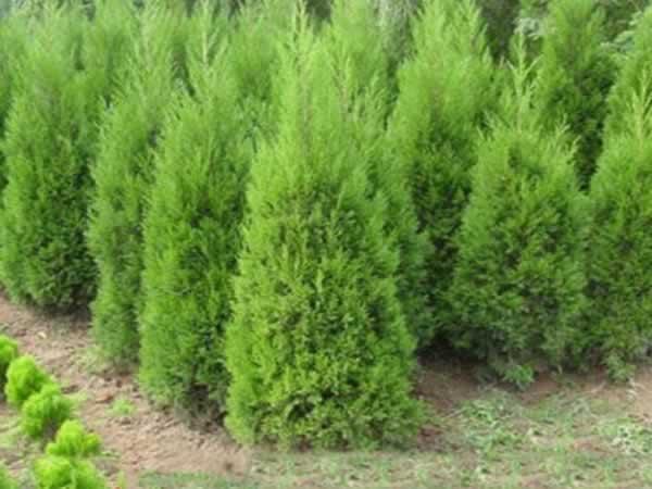 而松树,冬青,柏树等,由于叶子要么尖细,要么表面有蜡质层,水分不易