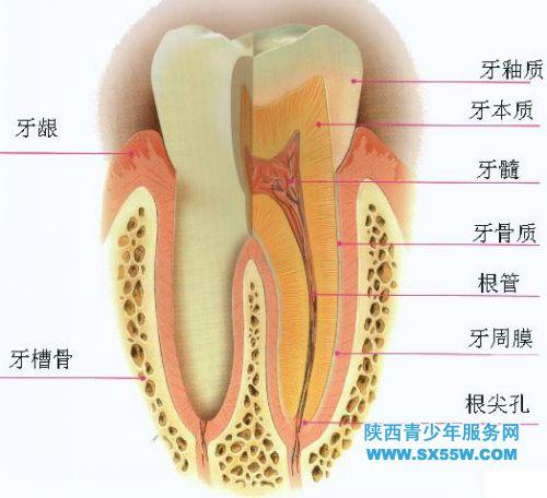 幼儿牙齿结构图